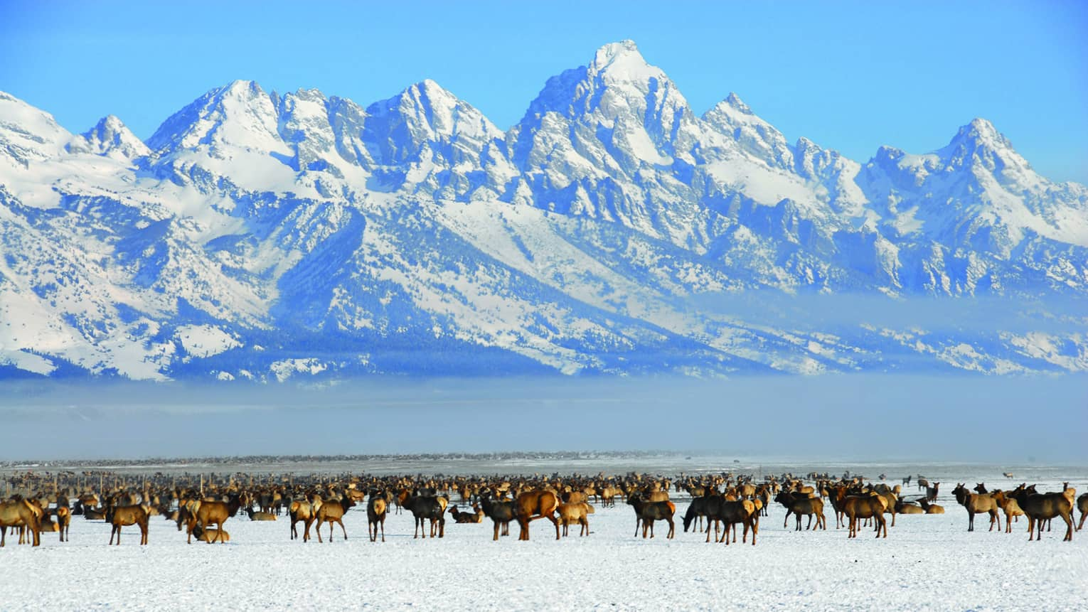 A herd of moose in front of snow covered mountains